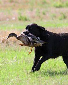 Cane da riporto: il metodo del calzino